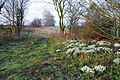 Snowdrops at the entrance to Welby Warren - geograph.org.uk - 341129.jpg