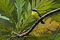 Social Flycatcher - Panama H8O9654 (16295907064).jpg