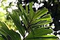 Socratea exorrhiza 7zz.jpg