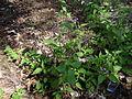Solanum dulcamara M2 (3).JPG