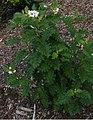 Solanum incompletum (6698090777).jpg