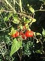 Solanum lycopersicum sl5.jpg