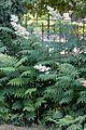 Sorbaria sorbifolia - drageons.jpg