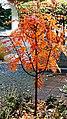 Sorbus Herbstlaub 05.jpg