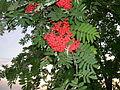 Sorbus americana, Whitefish Island 1.JPG