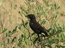 Southern Anteater-Chat.jpg
