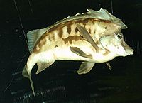 Southern Pigfish, Congiopodus leucopaecilus