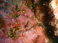 Spectacled triplefin at Taranga pinnacles Hen and Chicken Islands PA232344.JPG