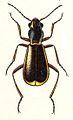 Sphinginus lobatus Jacobs.jpg