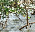 Spilotes pullatus, a Tropical Rat Snake goes arboreal..jpg