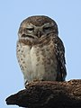 Spotted Owlet Athene brama by Dr. Raju Kasambe DSCN6082 (1).jpg