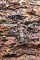 Springtail (40307731001).jpg