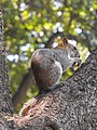 Squirrel in Viveros de Coyoacán - Mexico - panoramio.jpg