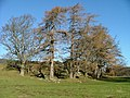 Stand of Trees - geograph.org.uk - 328847.jpg
