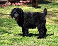 Standard black Poodle puppy2.jpg