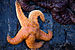 Ochre Sea Star - Photo (c) Steven Pavlov, some rights reserved (CC BY-SA)