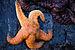 Ochre Sea Star - Photo (c) Steven Pavlov, some rights reserved (CC BY-SA)