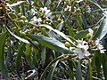 Starr-030202-0083-Myoporum sandwicense-leaves and flowers and fruit-Wailea 670-Maui (24537662951).jpg