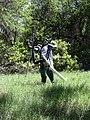 Starr-030626-0026-Cynodon dactylon-gas aspirator with Forest-Kahului-Maui (24609581756).jpg