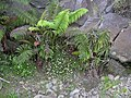 Starr-030805-0050-Erigeron karvinskianus-with amau fern-Pohakuokala Gulch-Maui (24012004343).jpg