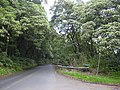 Starr-040209-0229-Aleurites moluccana-habit-Hana Hwy-Maui (24604893521).jpg