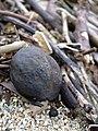 Starr-040323-0077-Aleurites moluccana-beach flotsam-Kanaha Beach-Maui (24071586344).jpg