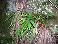 Starr-041211-1334-Pteris cretica-habit-Puu Nianiau-Maui (24353330209).jpg