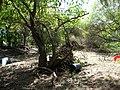 Starr-050218-4081-Schinus terebinthifolius-restoration site-Kanaha Beach-Maui (24737505635).jpg