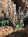 Starr-051202-5554-Pellaea ternifolia-habit-Science City-Maui (24823663526).jpg
