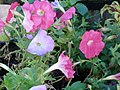 Starr-080103-1144-Petunia x hybrida-flowers and leaves-Lowes Garden Center Kahului-Maui (24781111882).jpg