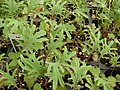 Starr-080117-1584-Brassica oleracea-habit-Walmart Kahului-Maui (24273419813).jpg
