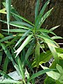 Starr-080531-4868-Ruellia brittoniana-leaves-Halsey Dr around residences Sand Island-Midway Atoll (24884593776).jpg