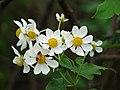 Starr-081230-0664-Montanoa hibiscifolia-flowers-Upper Kaulana-Kahoolawe (24833901411).jpg