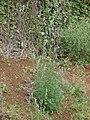Starr-090426-6373-Chenopodium album-fruiting habit-Lower Kula Rd Kula-Maui (24926346196).jpg