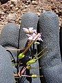 Starr-090504-7216-Erodium cicutarium-flowers fruit in hand-Science City-Maui (24836172582).jpg