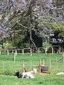 Starr-090513-7764-Jacaranda mimosifolia-flowering habit and cows napping-Hanamu Rd Olinda-Maui (24861808131).jpg