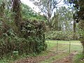 Starr-090601-8690-Montanoa hibiscifolia-habit and gate-Ulupalakua-Maui (24665417590).jpg