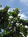 Starr-090617-0897-Sandoricum koetjape-habit-Ulumalu Haiku-Maui (24964993535).jpg