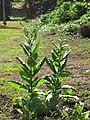 Starr-090623-1727-Nicotiana tabacum-flowering habit-Hana-Maui (24873916841).jpg