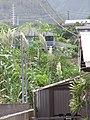 Starr-090806-3978-Arundo donax-flowering habit-Kahului-Maui (24878381451).jpg