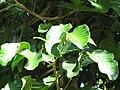 Starr-091104-9036-Sandoricum koetjape-leaves-Kahanu Gardens NTBG Kaeleku Hana-Maui (24869403882).jpg