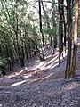 Starr-091127-1512-Eucalyptus sp-sideroxylon perhaps habit with trails-Olinda-Maui (24623433919).jpg