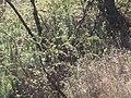 Starr-100303-3186-Rubus niveus-thick habit under burnt trees-Polipoli-Maui (25011325025).jpg
