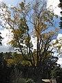 Starr-110209-0959-Carya illinoinensis-habit fall colors-MISC Piiholo-Maui (24444390864).jpg