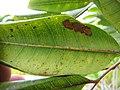 Starr-110307-2549-Cupaniopsis anacardioides-leaves-Kula Botanical Garden-Maui (24960143512).jpg