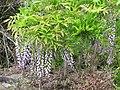 Starr-110331-4723-Wisteria floribunda-flowering habit-Shibuya Farm Kula-Maui (24964003642).jpg