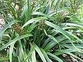 Starr-110411-4959-Dianella sandwicensis-fruiting habit form sandwicensis-Hawea Pl Olinda-Maui (25082541545).jpg