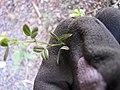 Starr-110524-5646-Vicia sativa subsp nigra-leaves-Science City-Maui (24727917569).jpg
