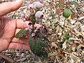 Starr-110621-6275-Vaccinium hybrid-Southern highbush cv Misty fruit and leaves with rust-Hawea Pl Olinda-Maui (25097294125).jpg