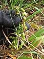 Starr-120425-4804-Dianella sandwicensis-form lavarum-Waikapu Valley-Maui (24772015059).jpg